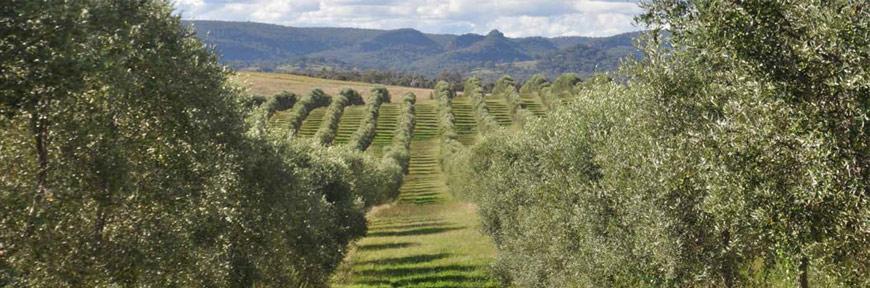 olive_oil_farm